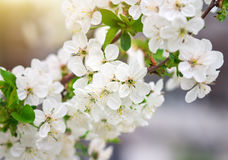 Apricot tree flowers, seasonal floral nature Stock Image