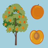 Apricot tree and fruit vector set Stock Photography