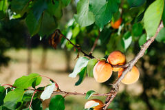 Apricot tree with fruits Royalty Free Stock Images