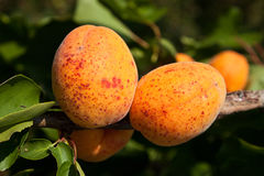 Apricot tree with fruits Stock Images