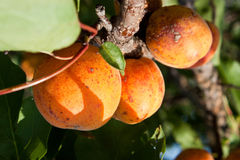 Apricot tree with fruits. Growing in the garden Royalty Free Stock Image