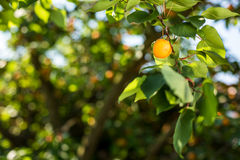 Apricot tree with fruits Stock Photography