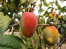 Apricot on the tree. Fruits of ripe fruit on a tree Royalty Free Stock Photos