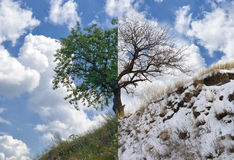 Apricot tree on a hill in two opposite seasons Stock Photos