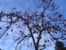 Apricot tree without leaves but with fruits. royalty free stock image