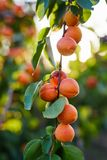 Branch of tree with ripe apricots royalty free stock images