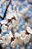 Apricot tree over blue sky Royalty Free Stock Image