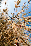 Apricot tree over blue sky Stock Photography
