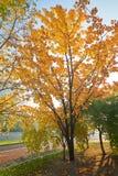 A apricot tree Royalty Free Stock Photo