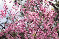 Apricot tree with pink blossom flowers. Apricot tree with pink blossom flowers at the springtime Stock Image