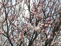 Apricot tree, pink flowers, March. royalty free stock photography