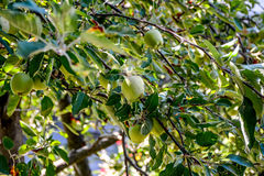 Apricot tree Stock Photos