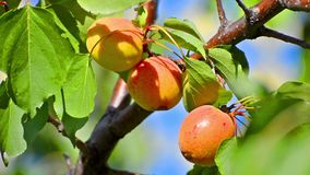 Apricot on a tree ready for harvest stock video