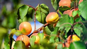 Apricot on tree ready for harvest stock video footage