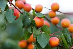 Apricot tree with ripe apricots royalty free stock images
