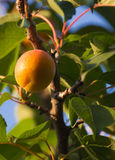 Apricot tree Stock Images