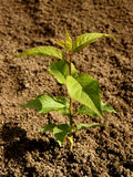 Apricot tree seedling Royalty Free Stock Photo
