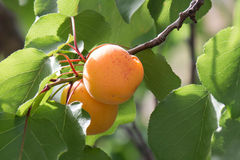 Apricot tree Stock Photo