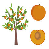 Apricot treea and fruit vector illustration Royalty Free Stock Photography