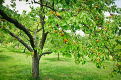 Apricot Trees Royalty Free Stock Photos