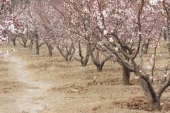 Apricot grove Stock Photo