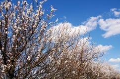 Flowers of cherry-tree Stock Photo