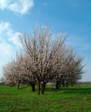 Apricot  tress Stock Photo