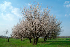 Apricot  tress Royalty Free Stock Photos
