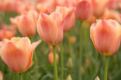 Apricot Tulips in Michigan Stock Image