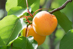 Apricot. Two apricot in a tree stock photos
