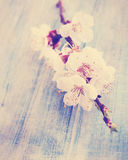 Apricot vintage photo. Spring bouquet of blooming apricot, vintage photo Royalty Free Stock Photography