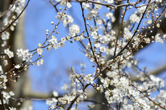 Apricot white flowers. Apricot blossoming white flowers in spring Stock Photo