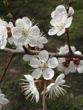 Apricot white flowers on a tree branch Royalty Free Stock Photo