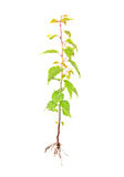 Apricot young tree with root Royalty Free Stock Image