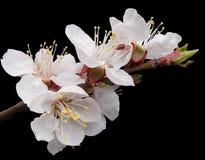 apricot zakwitnąć Obraz Stock