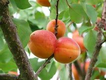 Apricots. Fresh apricots on a tree Stock Image