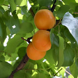 Apricots. Branch of an apricot tree with three ripe apricots stock photo