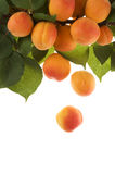 Apricots. Fall from branch with leaves. Focus is on falling  and leaves. Copy space for text at bottom Stock Images