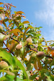 Apricots. Apricot tree on a sunny day Stock Images