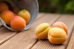 Apricots. Spilling out of a bucket onto a wodden garden table stock photos