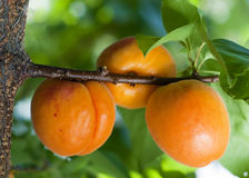 Apricots. Branch of an apricot tree with leaves and three ripe apricots royalty free stock photography