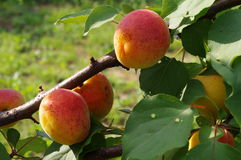 Apricots. On the branch before harvest Royalty Free Stock Photos