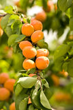 Apricots Royalty Free Stock Photo