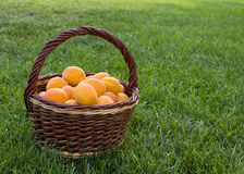 Apricots in basket Stock Images