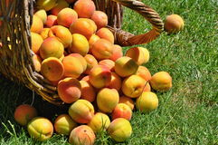 Apricots in basket Royalty Free Stock Photos