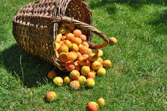 Apricots in basket Royalty Free Stock Images