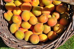 Apricots in basket Stock Photography