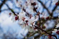 Apricots Bloom Stock Images