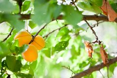 Apricots on a branch. Apricot tree branch with ripe fruits on it Stock Photo