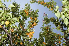 Apricots on a branch Royalty Free Stock Photo